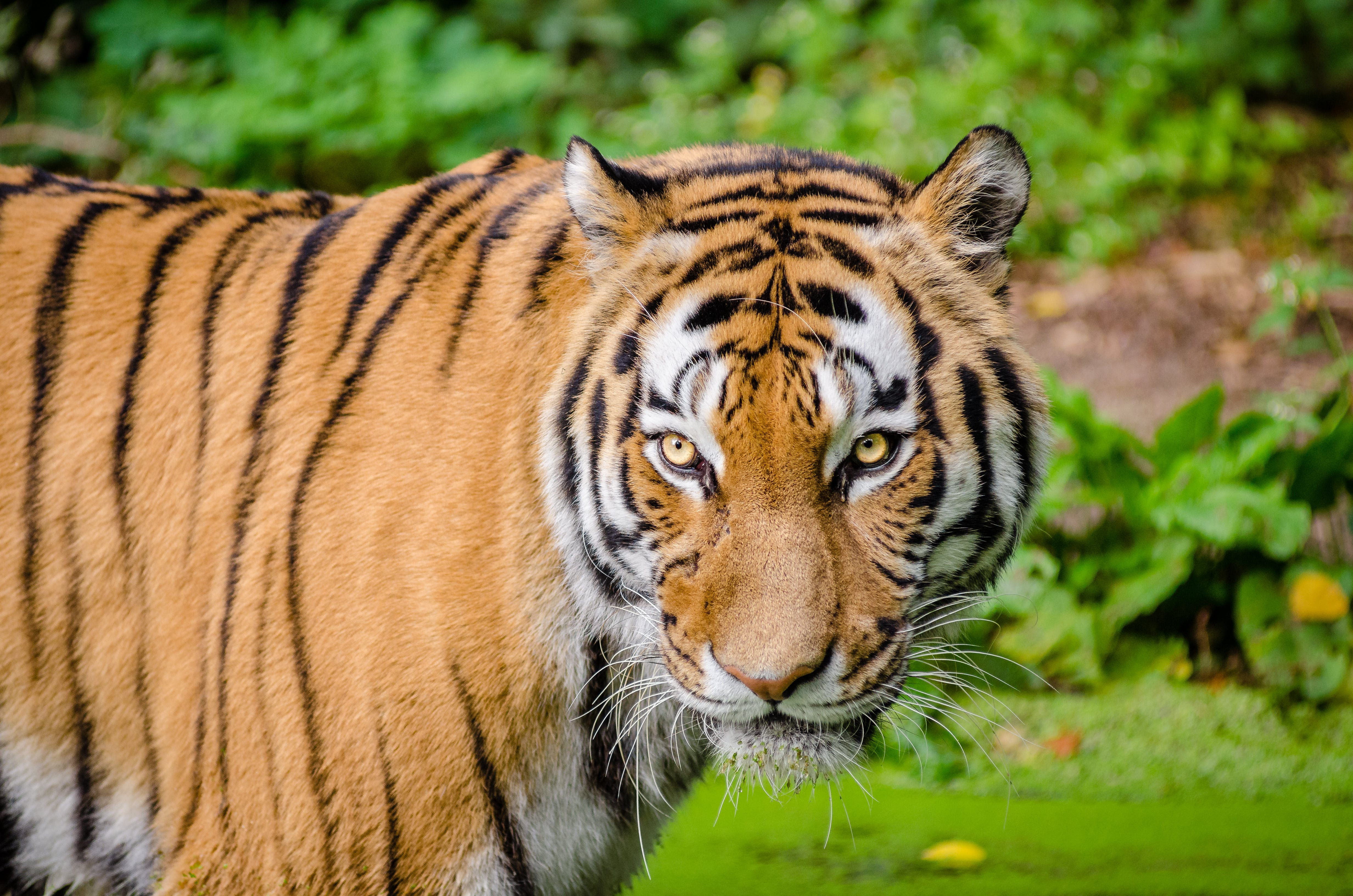 Tiger on Green Lawn Grass