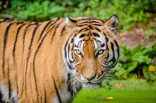 Tiger on Green Lawn Grass