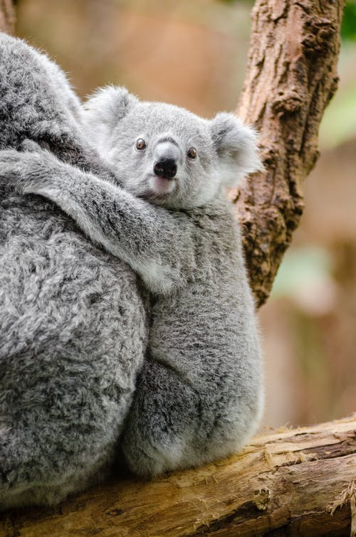 Kostenloses Stock Foto zu ast, beuteltier, bezaubernd, koala
