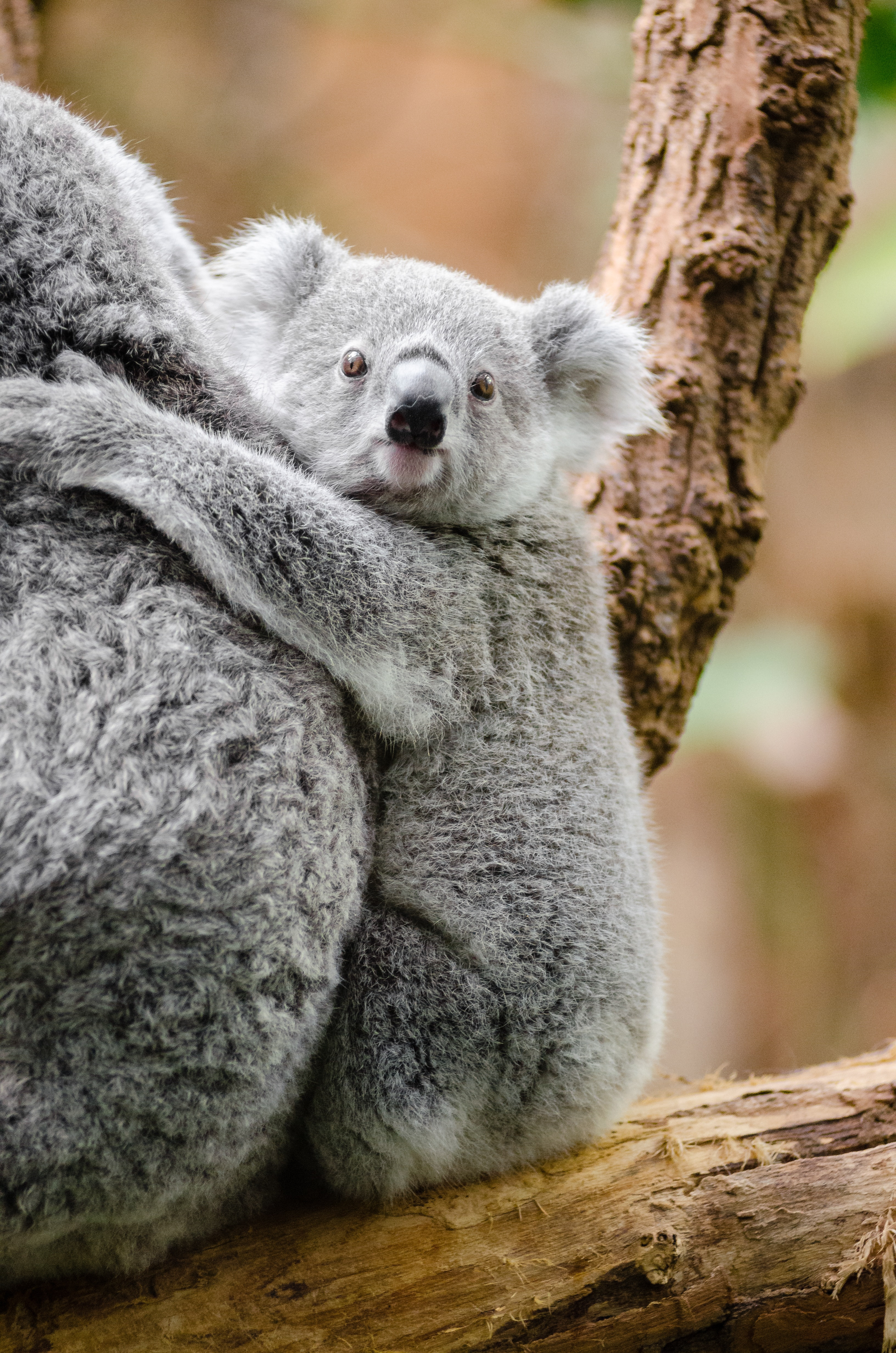 Grey And White Koala Bear 183 Free Stock Photo