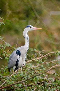 White and Black Heron