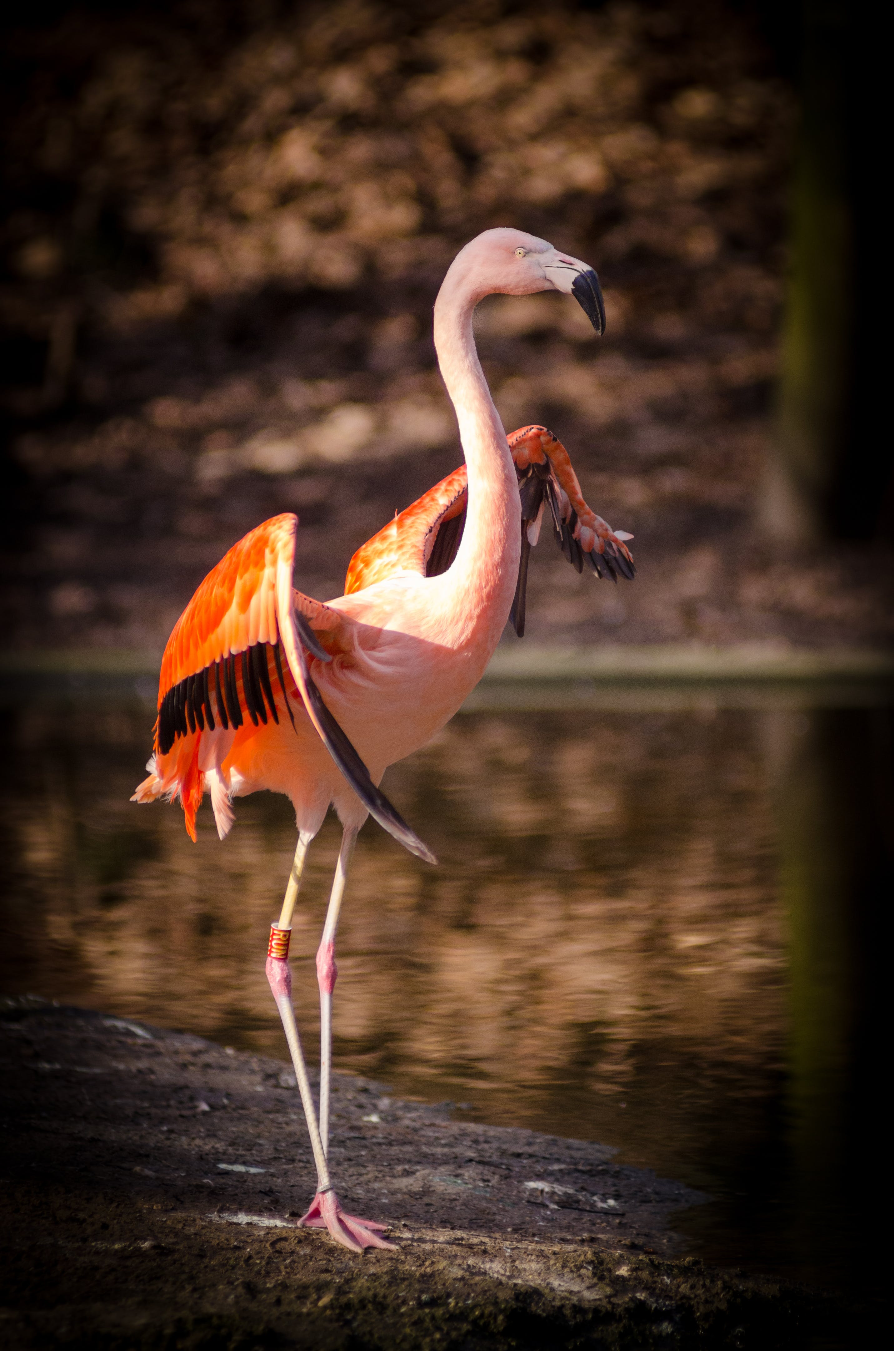 Pink and Red Flamingo Standing Near Body of