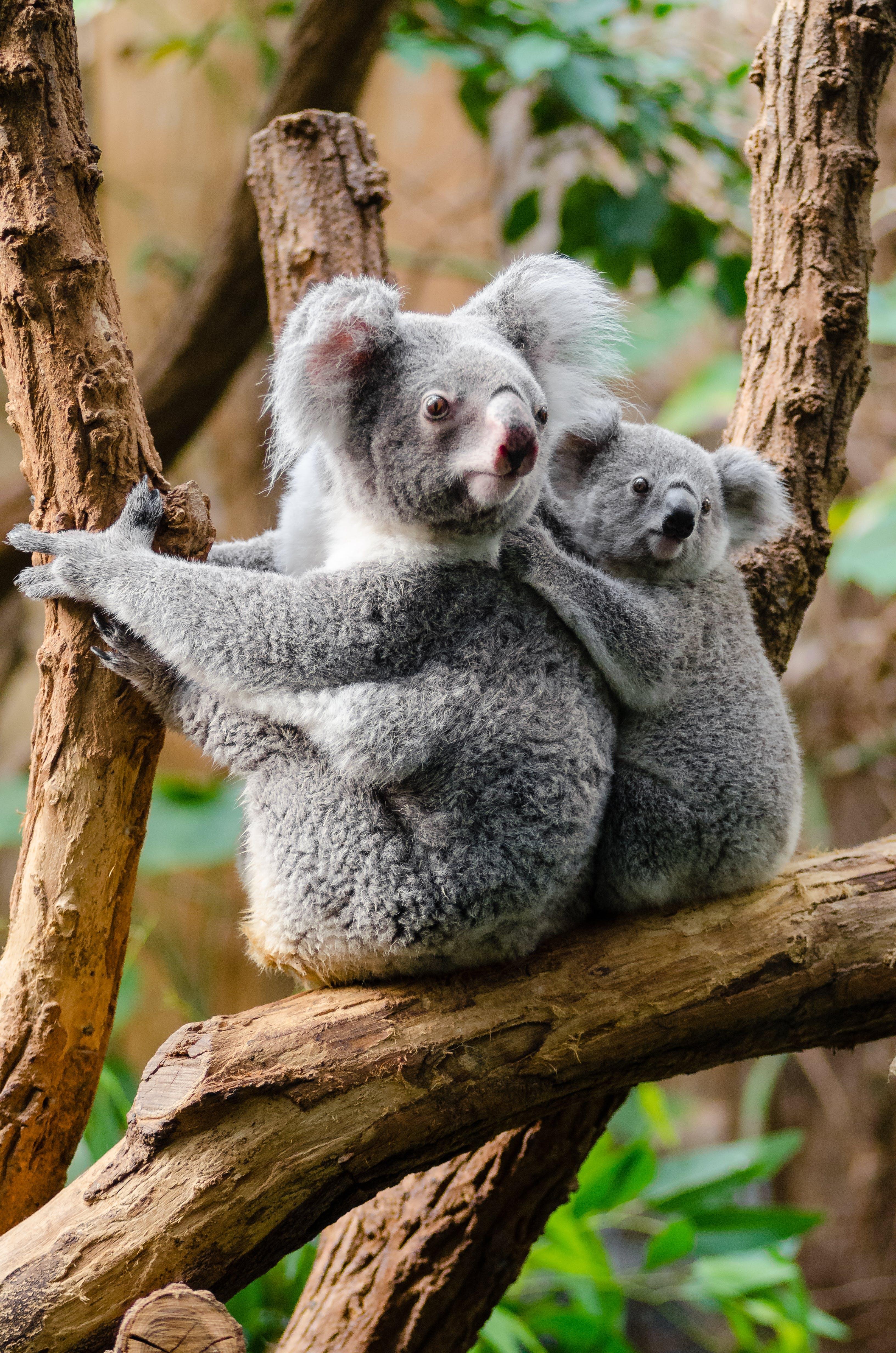 Kostenloses Stock Foto zu ast, baum, koalas, niedlich