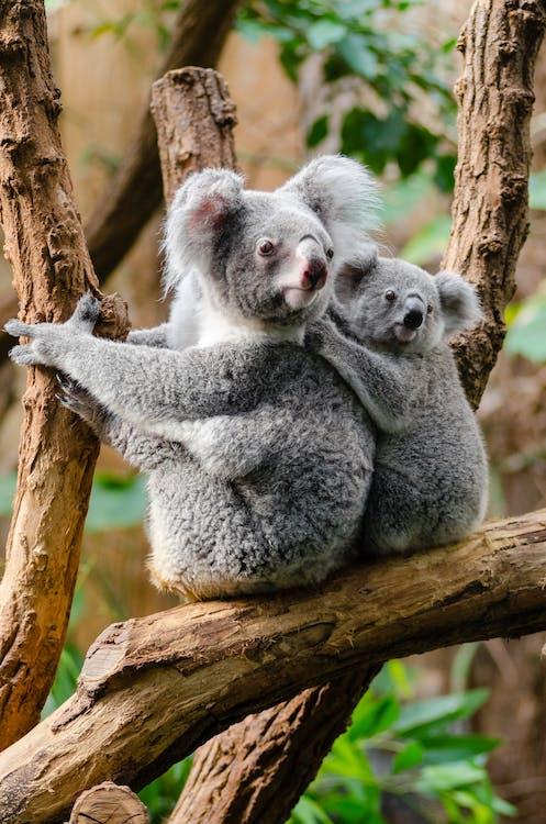 2 Kuala Bears on Brown Wood Tree Branch