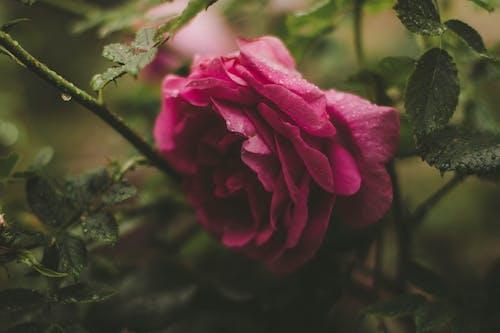 Immagine gratuita di bellissimo, delicato, fiore, fiore rosa