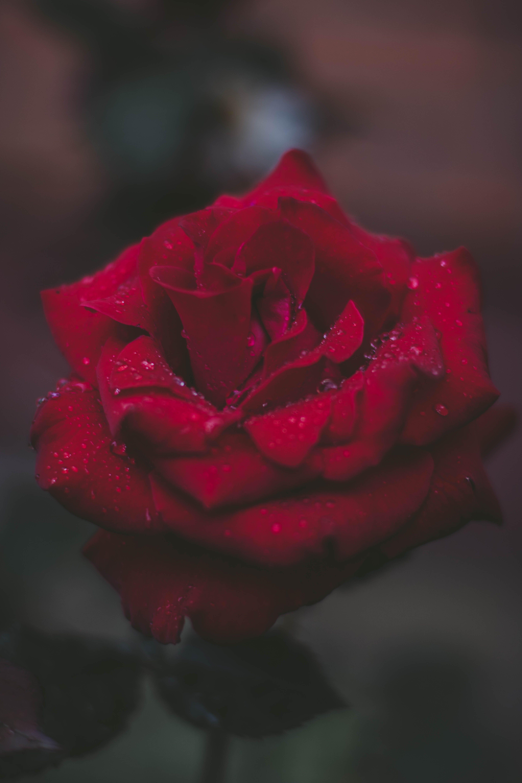 微妙, 植物群, 漂亮, 紅玫瑰 的 免費圖庫相片