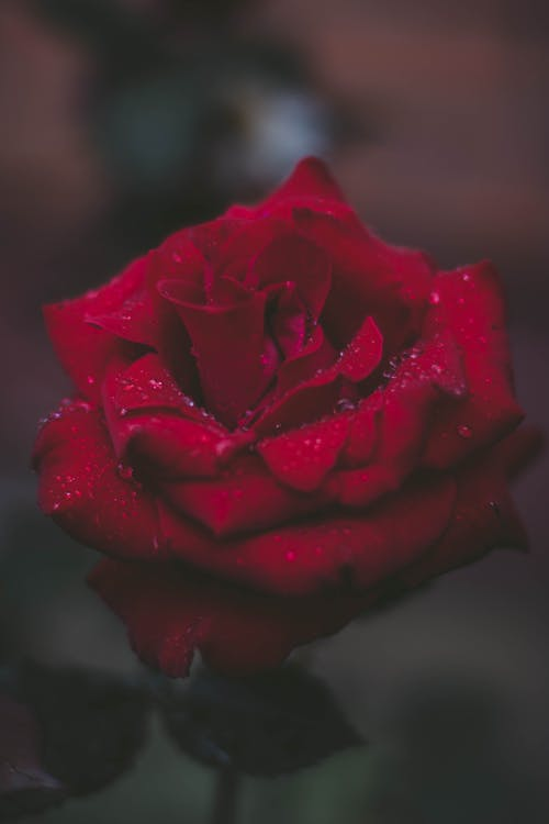 1000 Amazing Red Rose Photos Pexels Free Stock Photos
