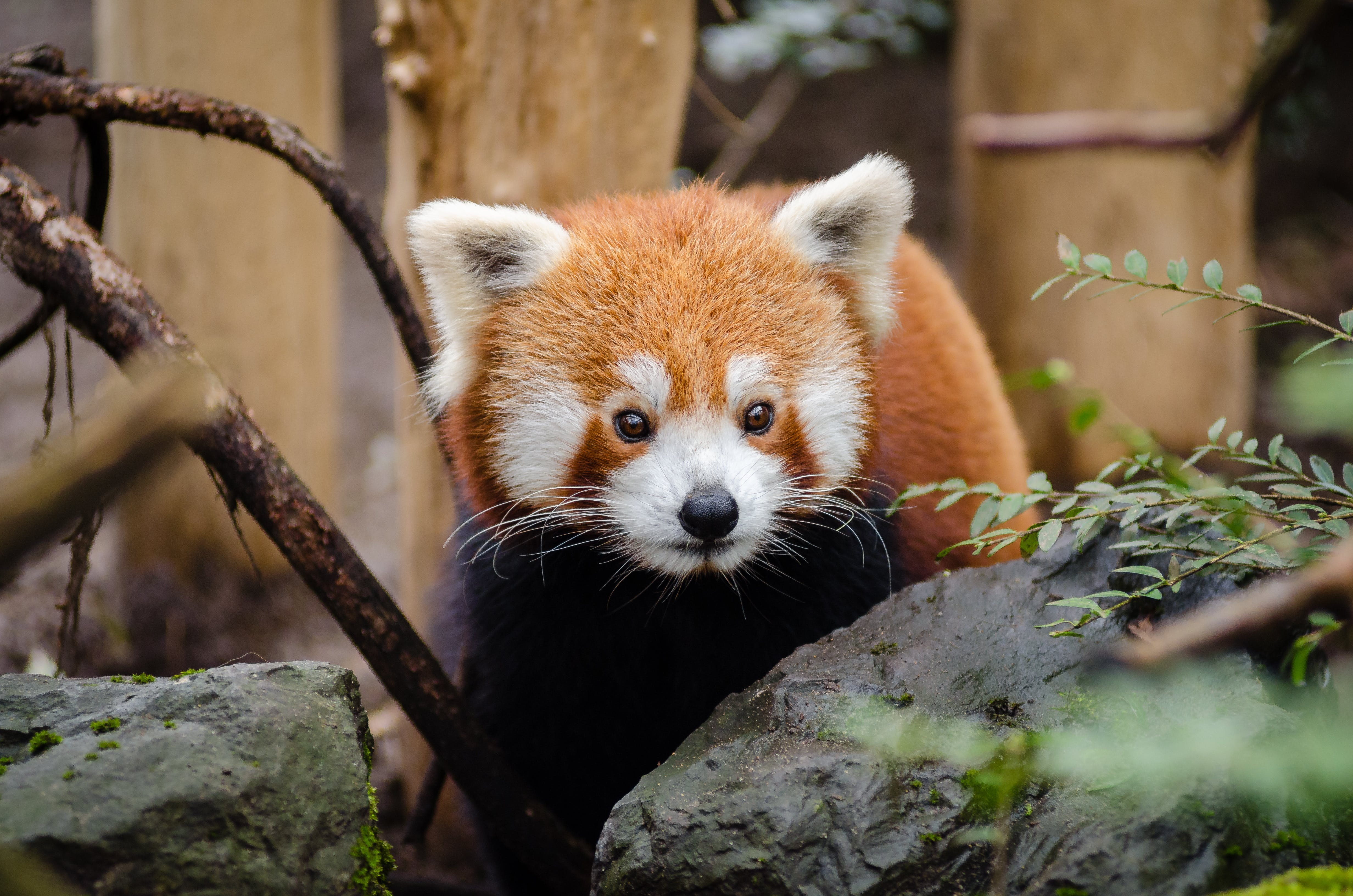 Brown and White Red Panda