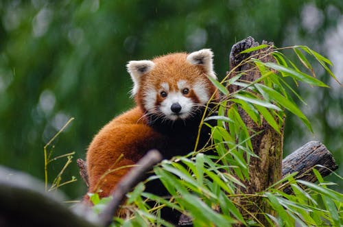 Red Panda Perching on Tree during Daytime