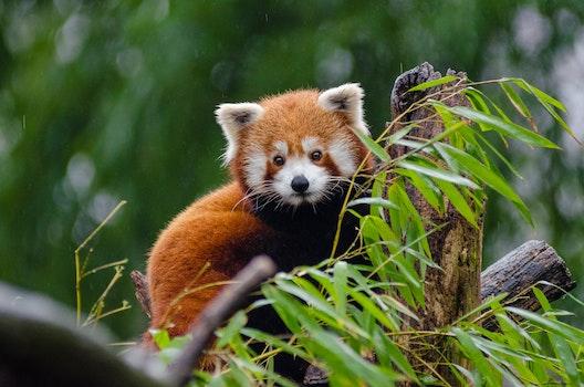 Red Panda Perching on Tree during Daytime