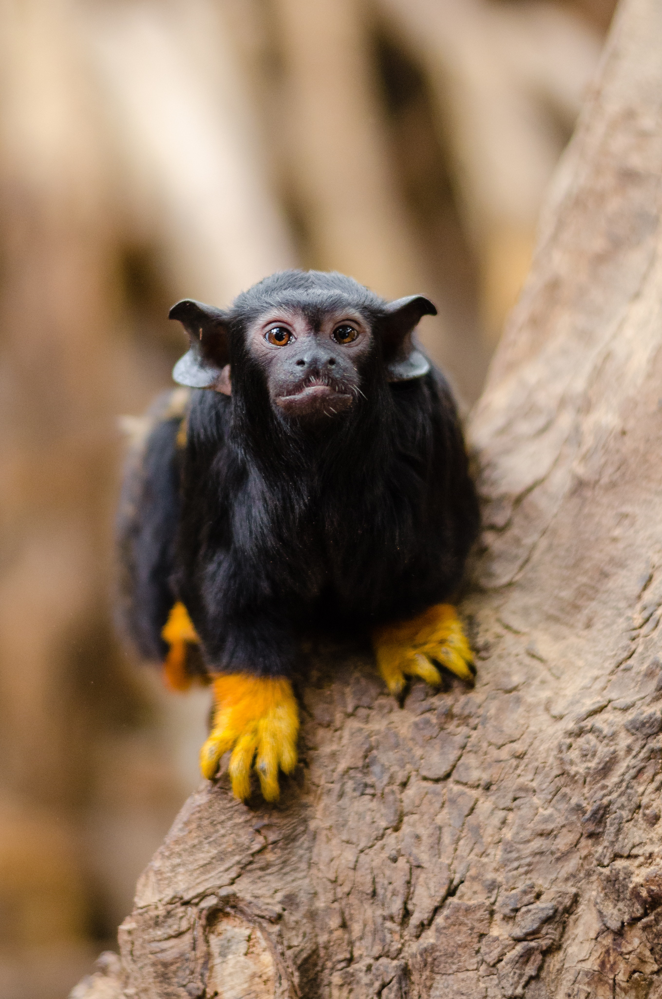 Red Handed Tamarin On Brown Tree On Close Up Photography