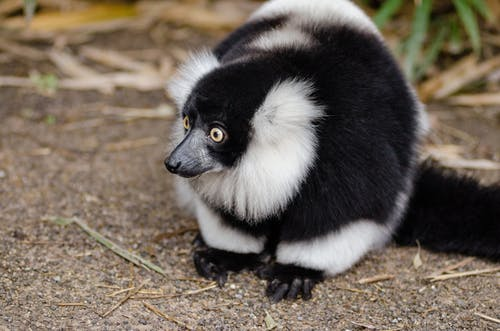 Black and White Lemur on Top of Brown Surface