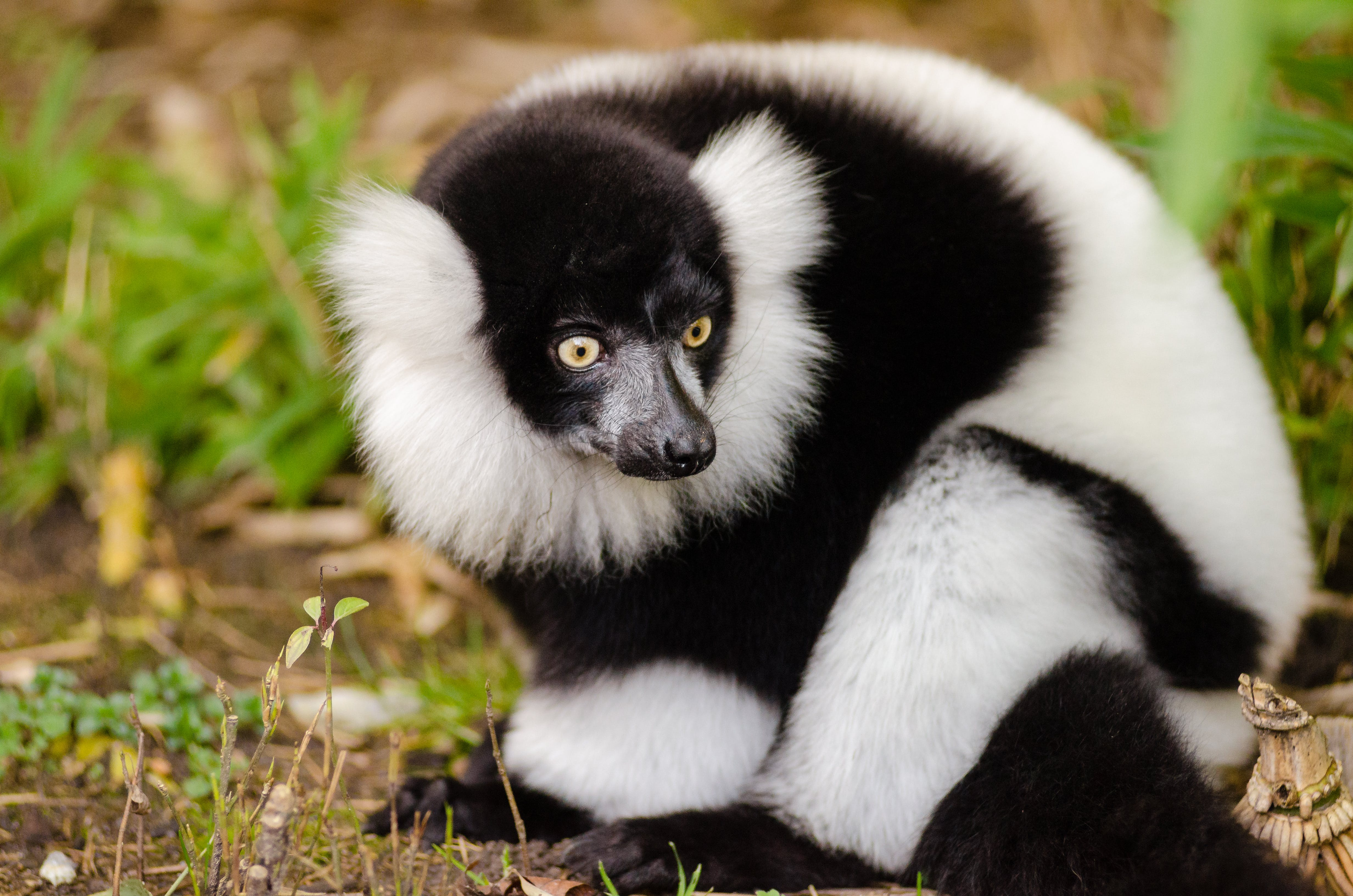 Close Up Photography of Black and White Lemur