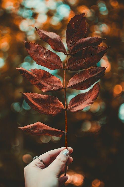 ハンド, リング, 乾いた葉, 人の無料の写真素材