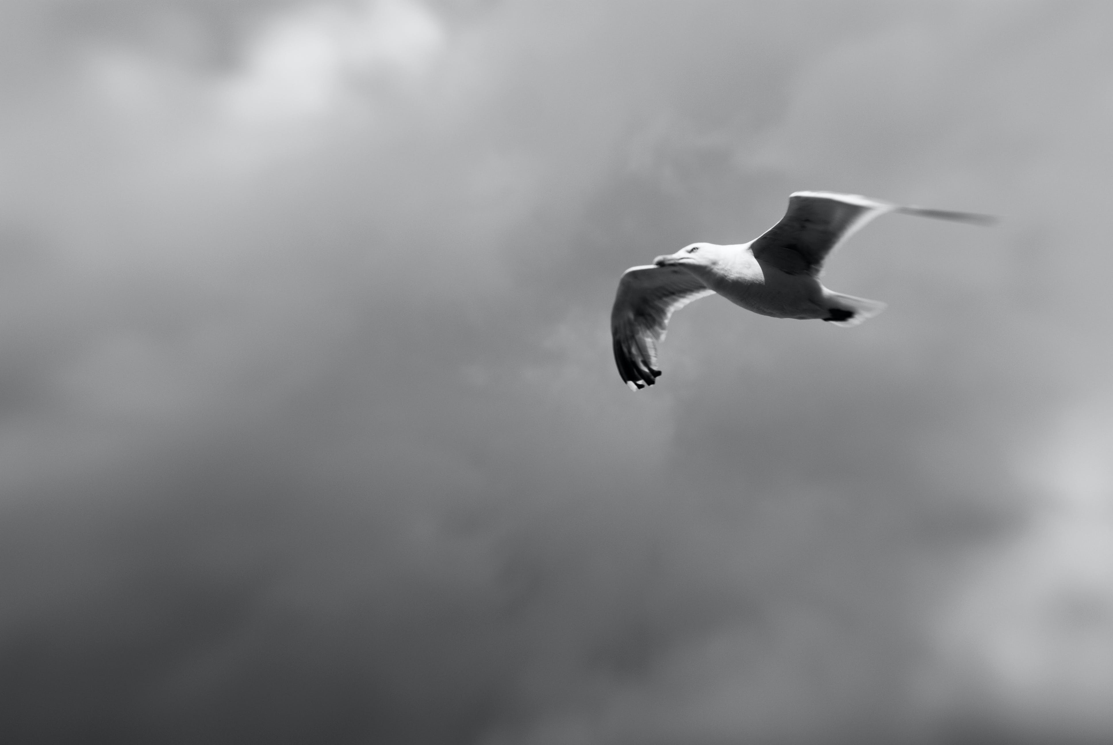 Free stock photo of black and white, lensbaby, seagull
