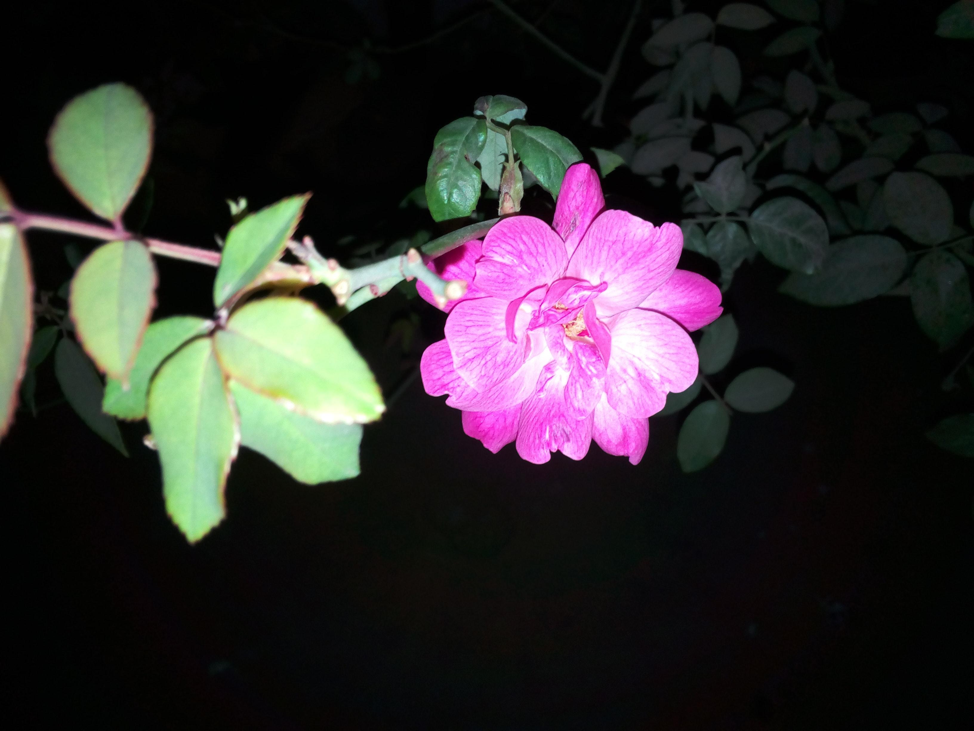 Free stock photo of beautiful flowers night pink rose free download izmirmasajfo