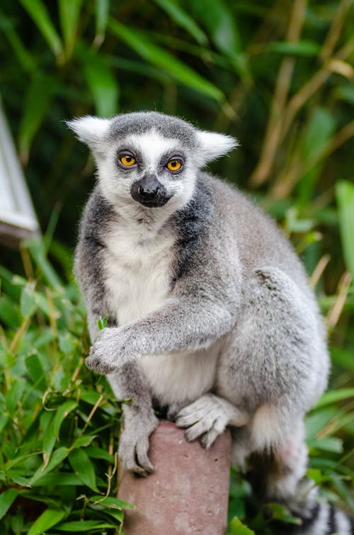 Gray and White Lemur