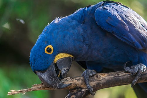 Close Up of Short-beak Blue Bird
