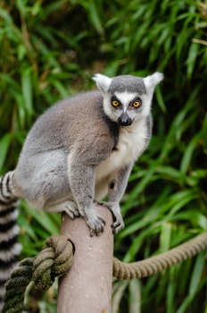 Ring Tailed Lemur on Grey Post