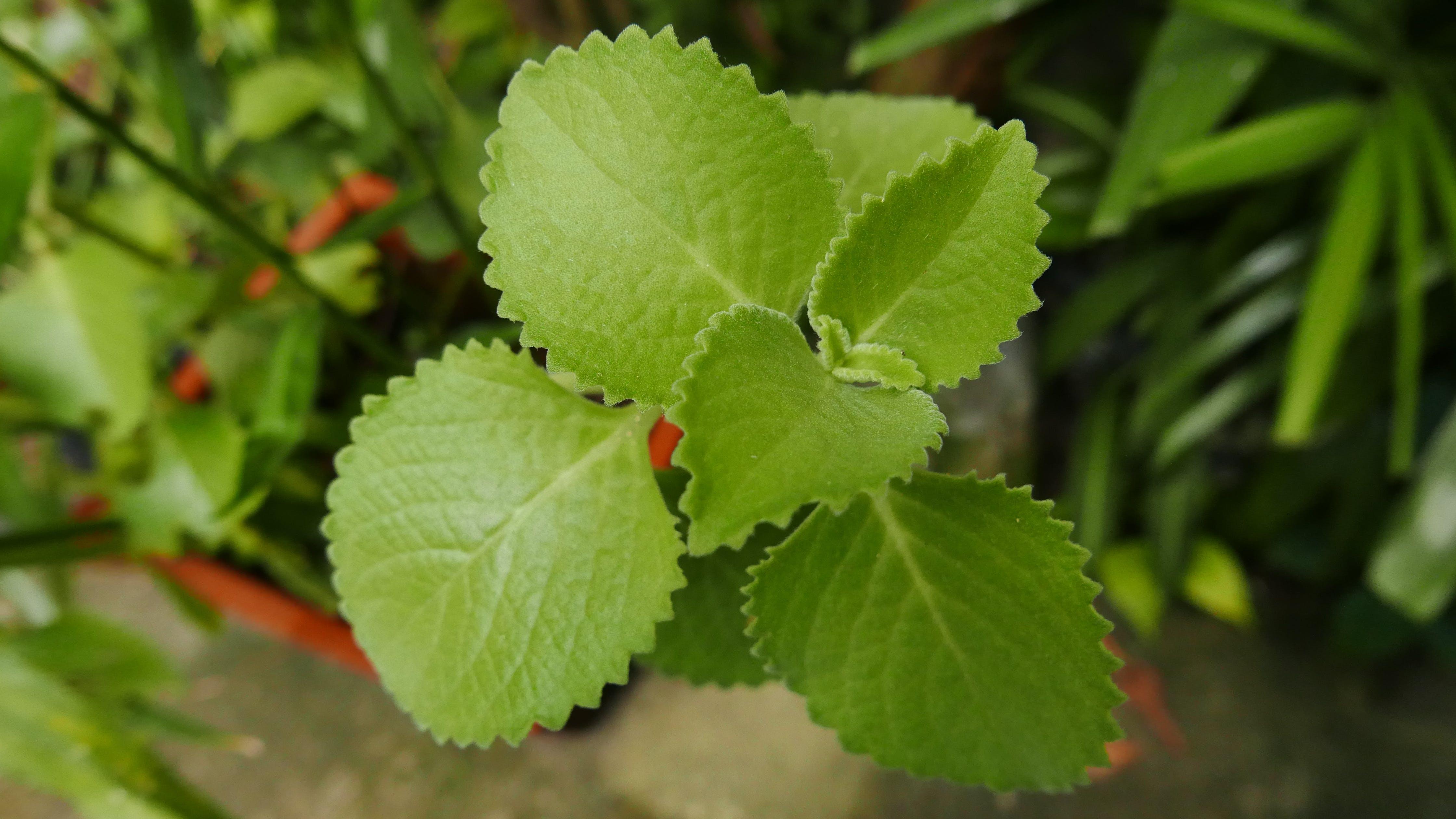 Základová fotografie zdarma na téma léčivá rostlina, léčivé byliny, oregano, příroda