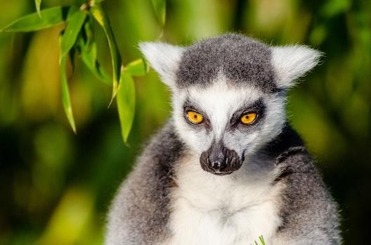 Gray and White Lemur