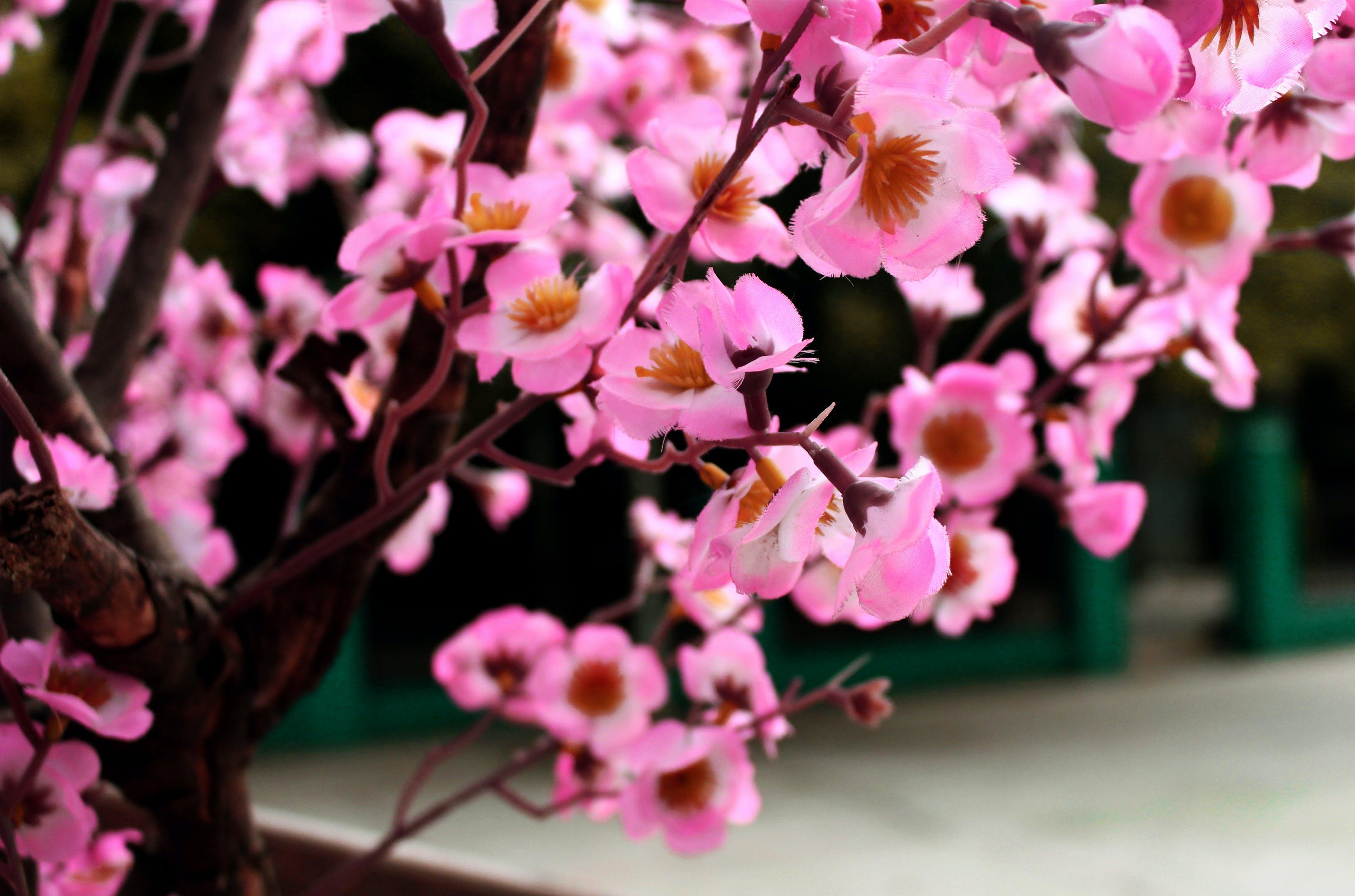 Δωρεάν στοκ φωτογραφιών με sakura, άνθη κερασιάς, ανθοφόρο δέντρο, αφηρημένο φόντο