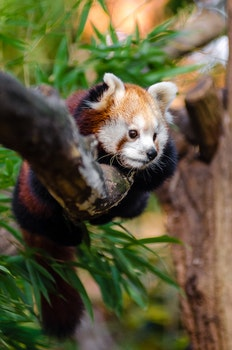 Red Panda on Tree Trunk during Daytime