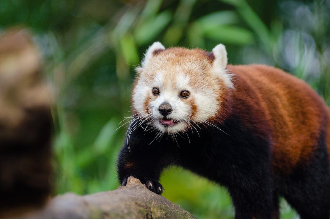 makro, niedlich, roter panda