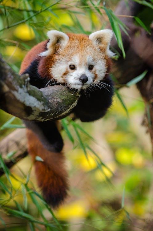 czerwona panda, drzewo, dzika przyroda
