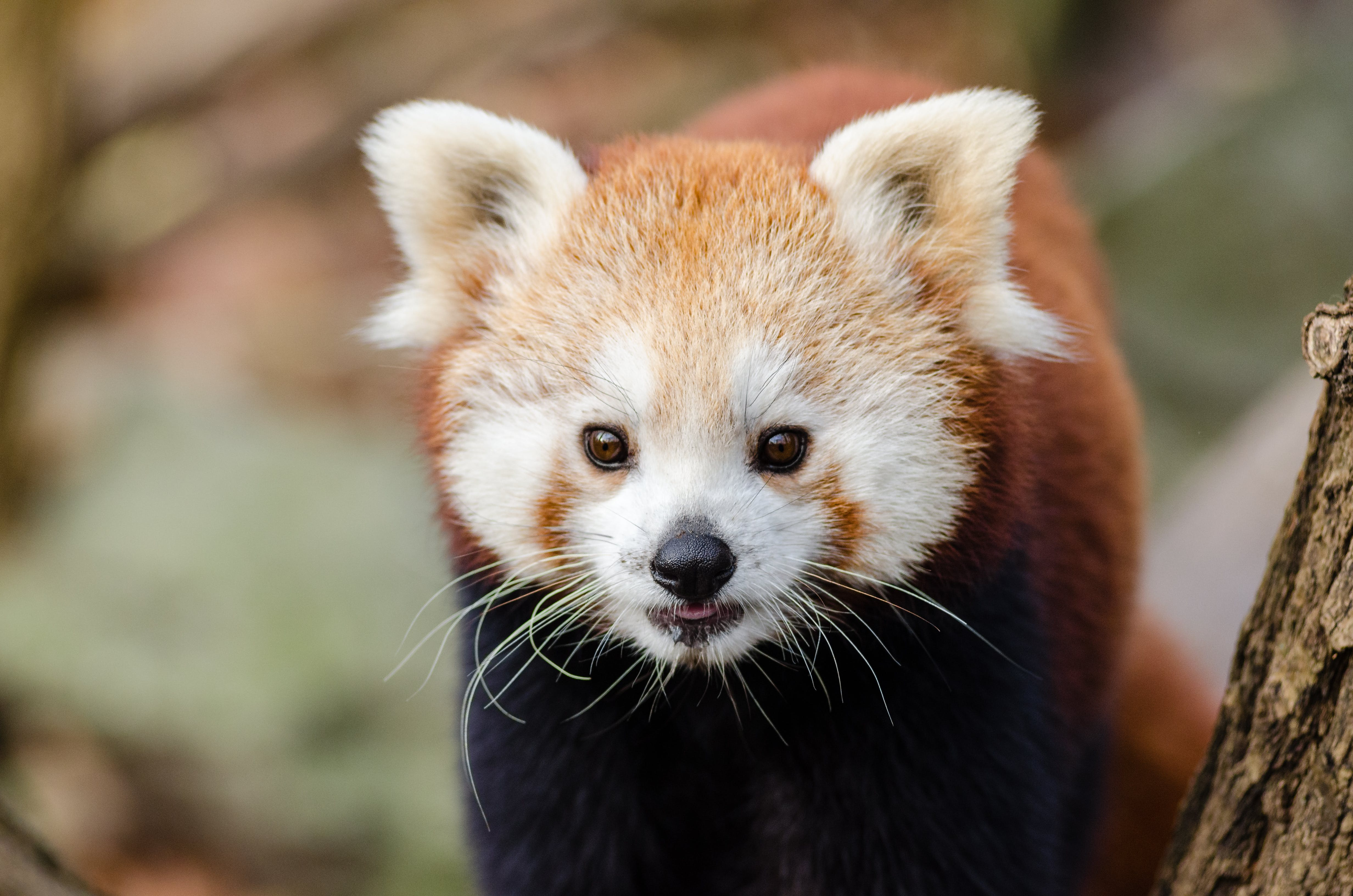 Close Up Photography of Red Panda