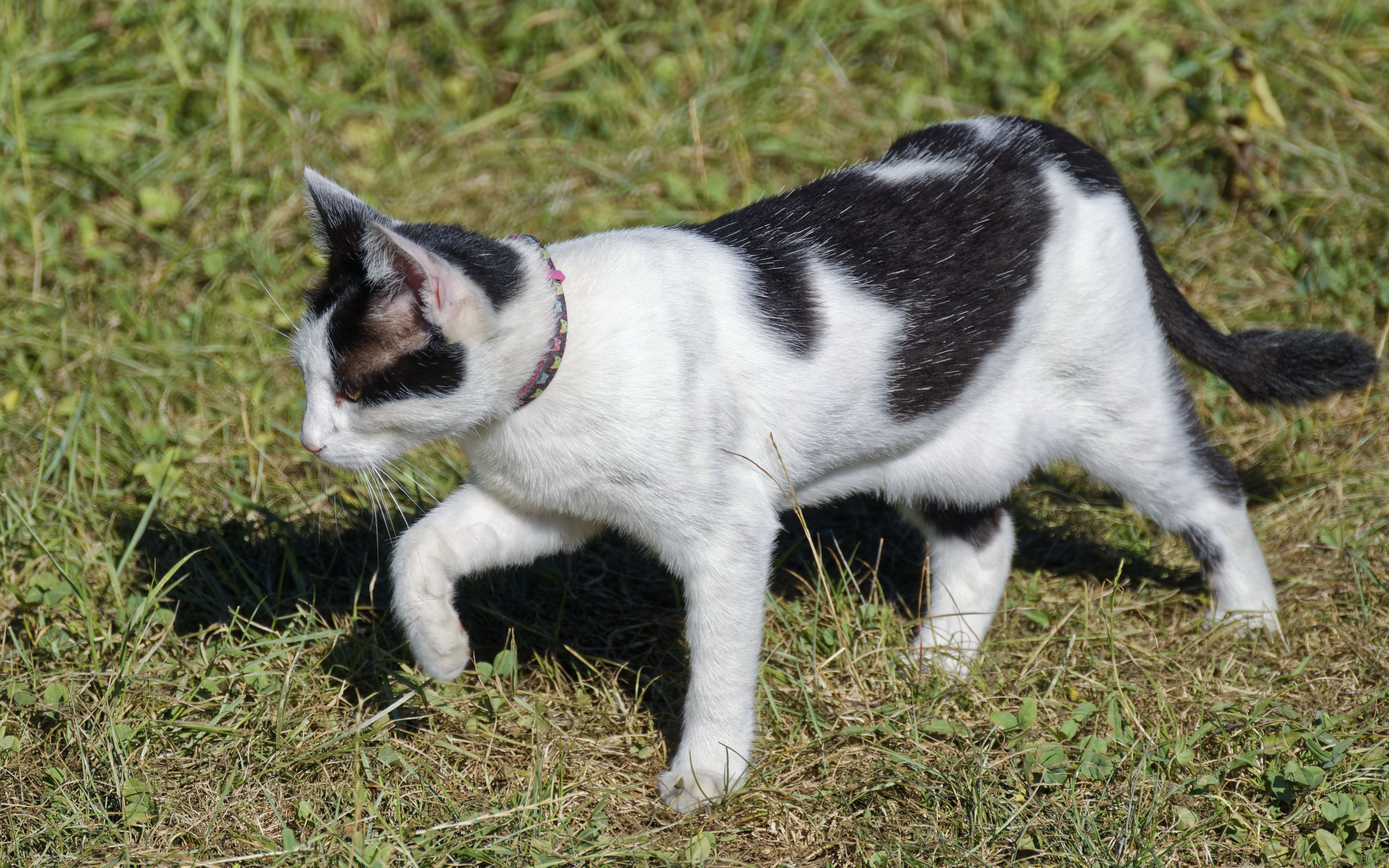 Free stock photo of black and white cat walking on grass