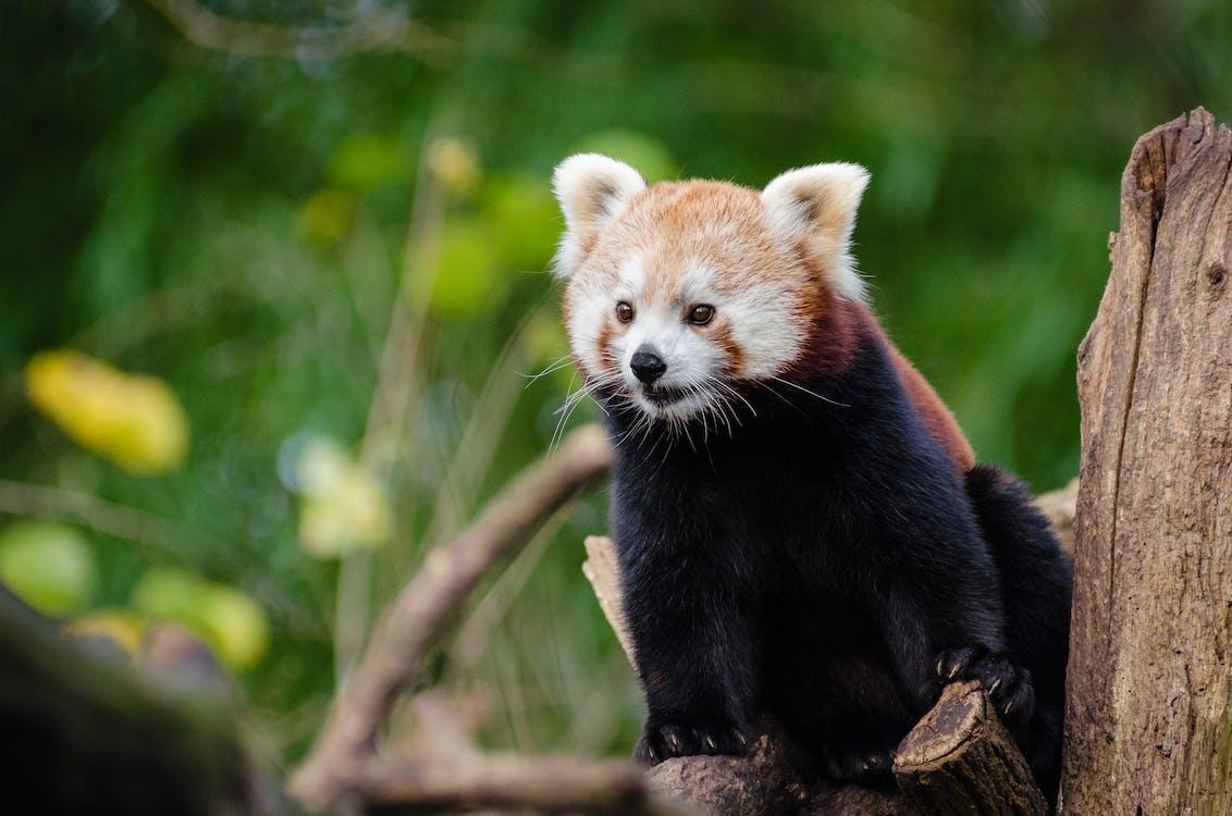 divočina, panda červená, příroda