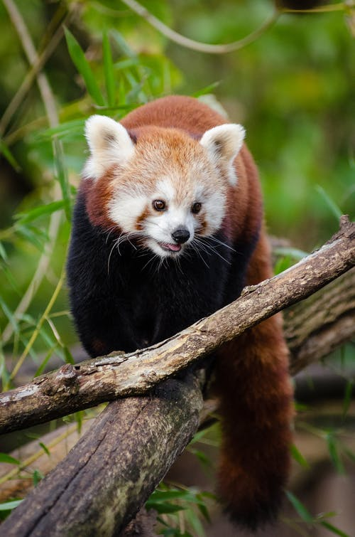 Red Panda Walking on Tree Log during Daytime