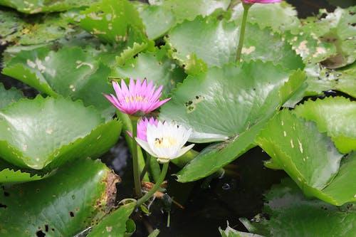 Бесплатное стоковое фото с бесплатные фото, водный, водяная лилия, дзэн