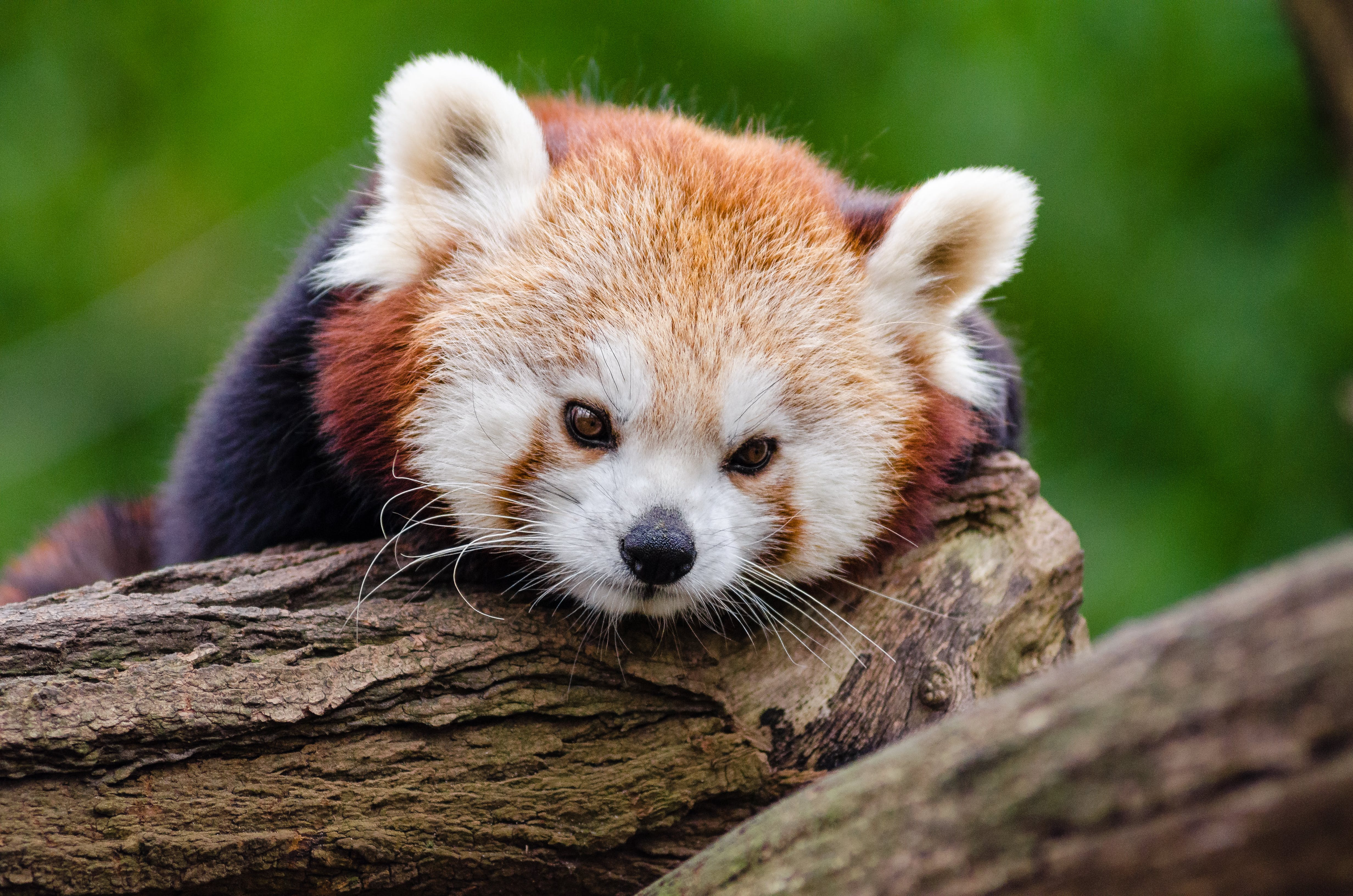Red Panda on Wood Log