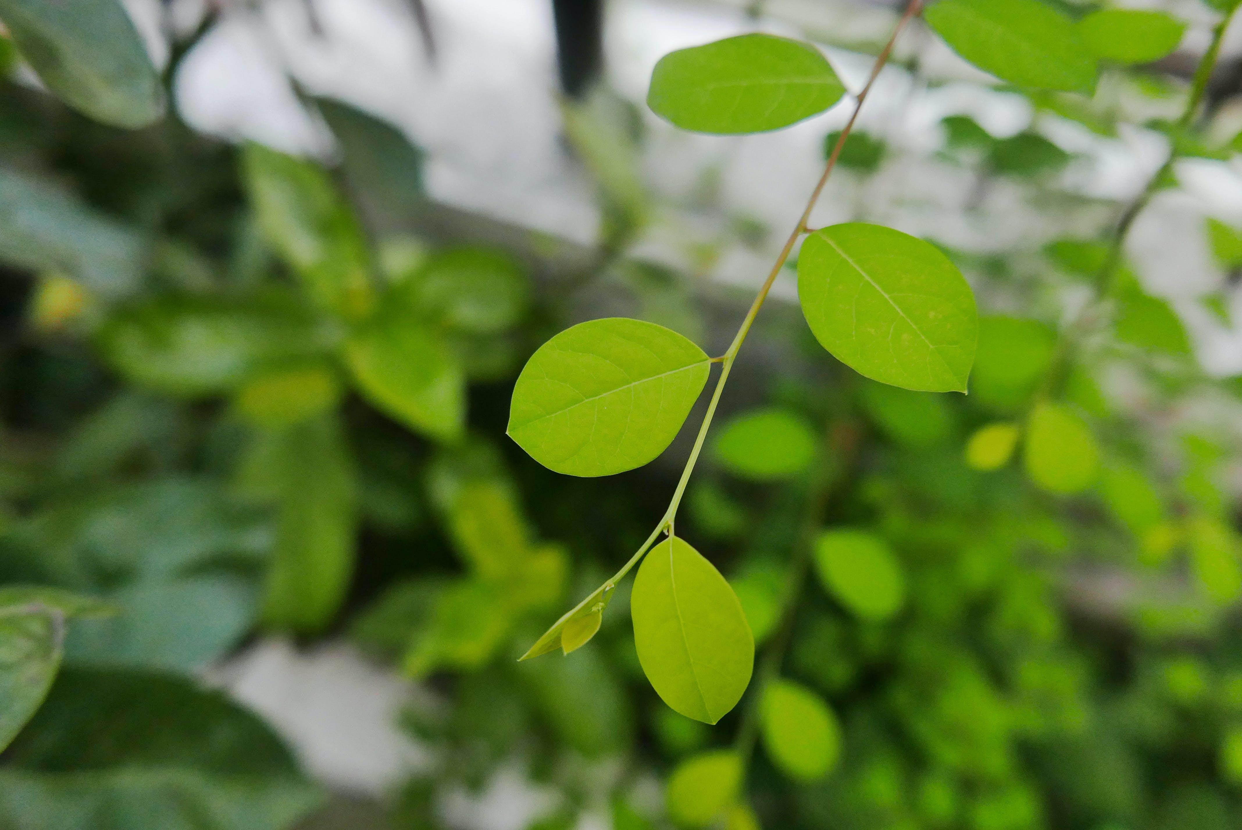 Základová fotografie zdarma na téma léčivá rostlina, léčivé byliny, příroda, prostředí