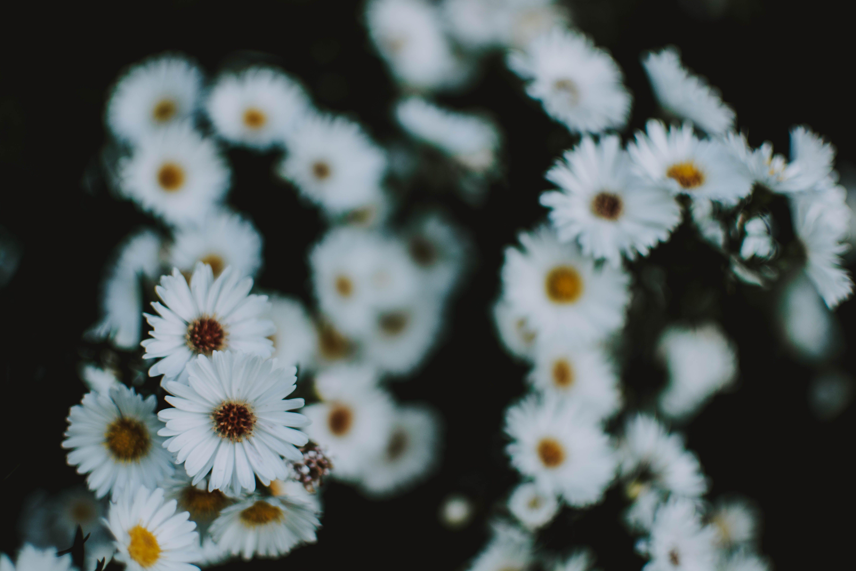 Close Up Photo of White Petaled Chamomile Flowers