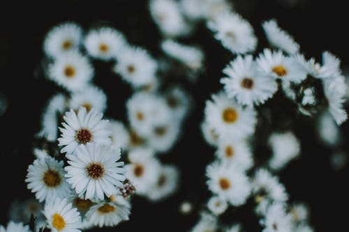 Close Up Photo of White Petaled Chamomile Flowers