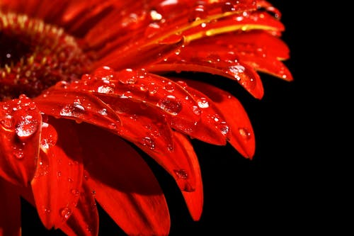 Shallow Focus Photography of Red Gerbera Flower With Water Dew