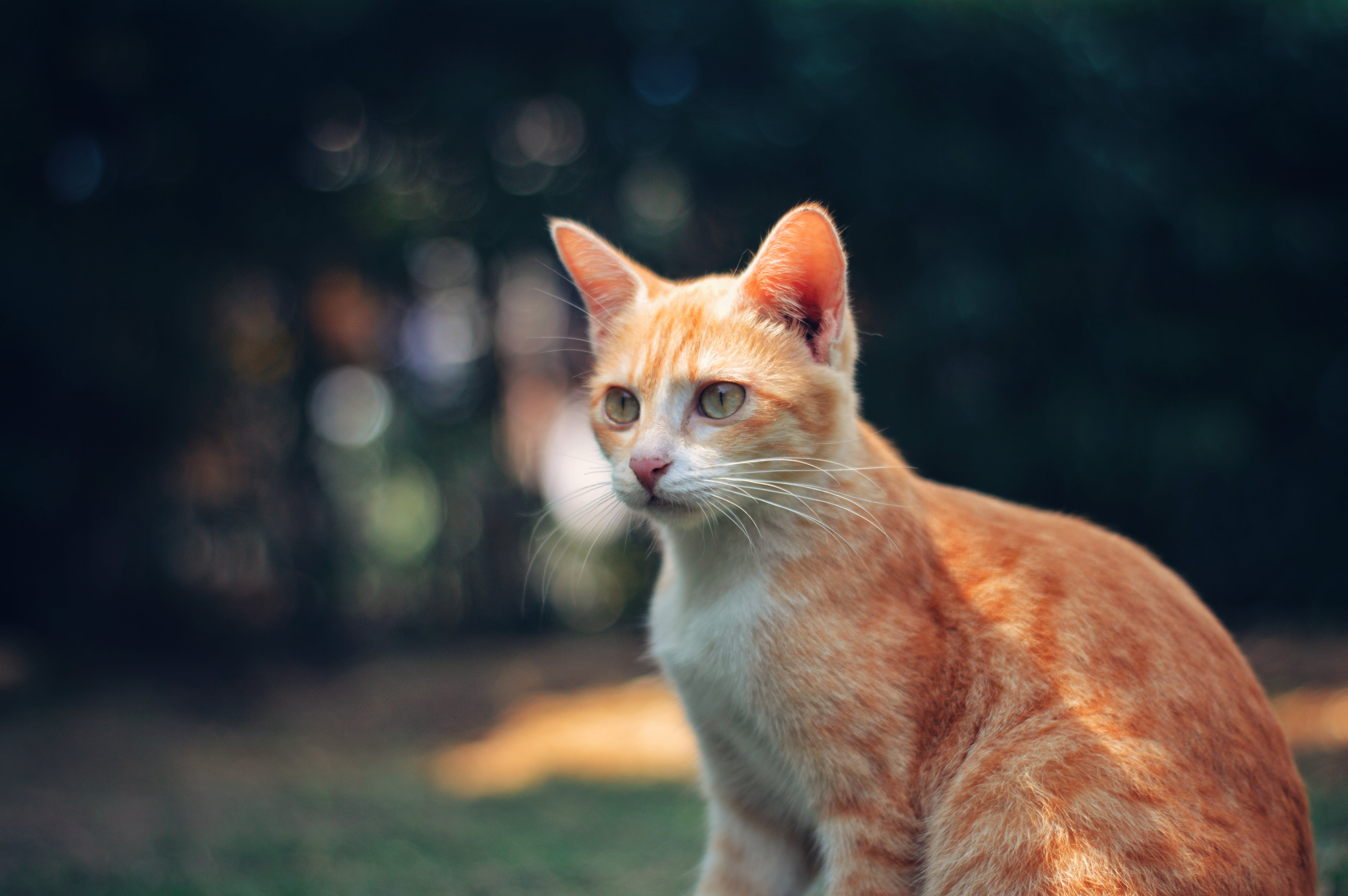 Photography of Orange Tabby Cat