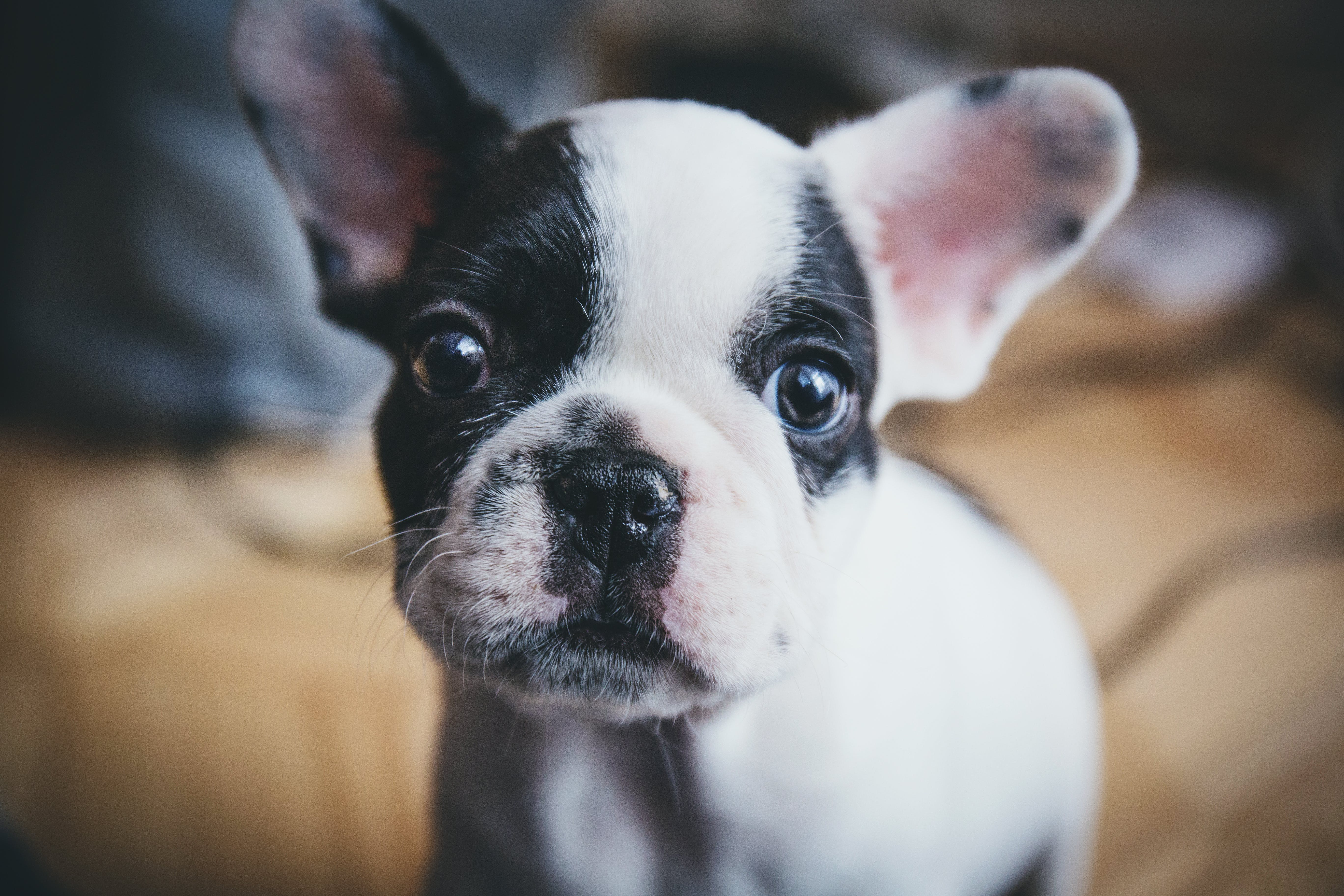 Selective Focus Photography of French Bulldog Puppy