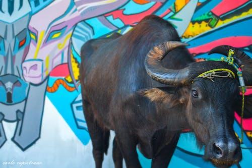 Základová fotografie zdarma na téma barevný, carabao, zvíře