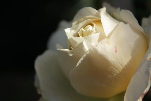 Ingyenes stockfotó fehér, fehér rózsa, fekete-fehér, gyufa feje témában