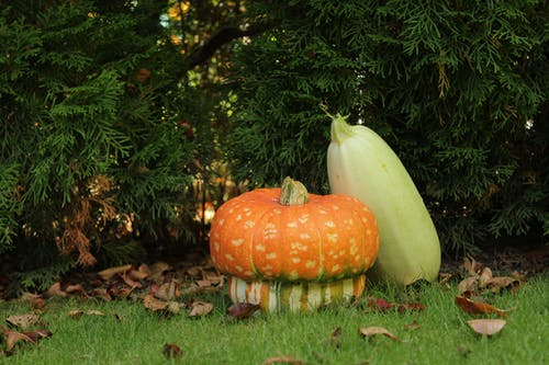 Free stock photo of conifer, cucurbit, grass, pumpkin