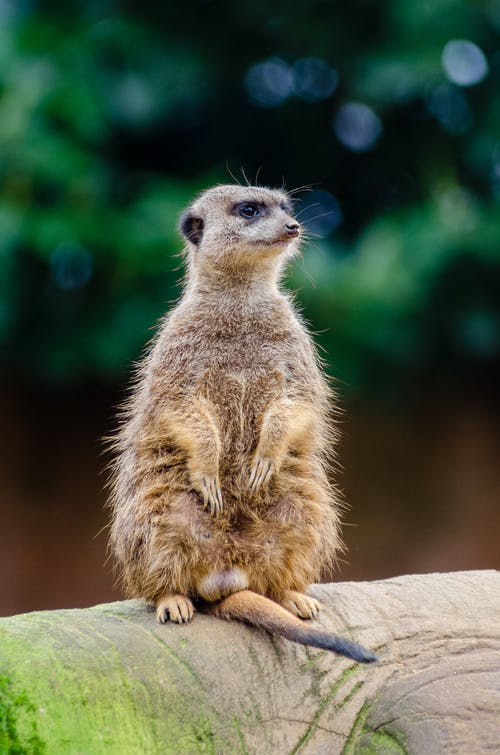 Close Up Photography of Meerkat