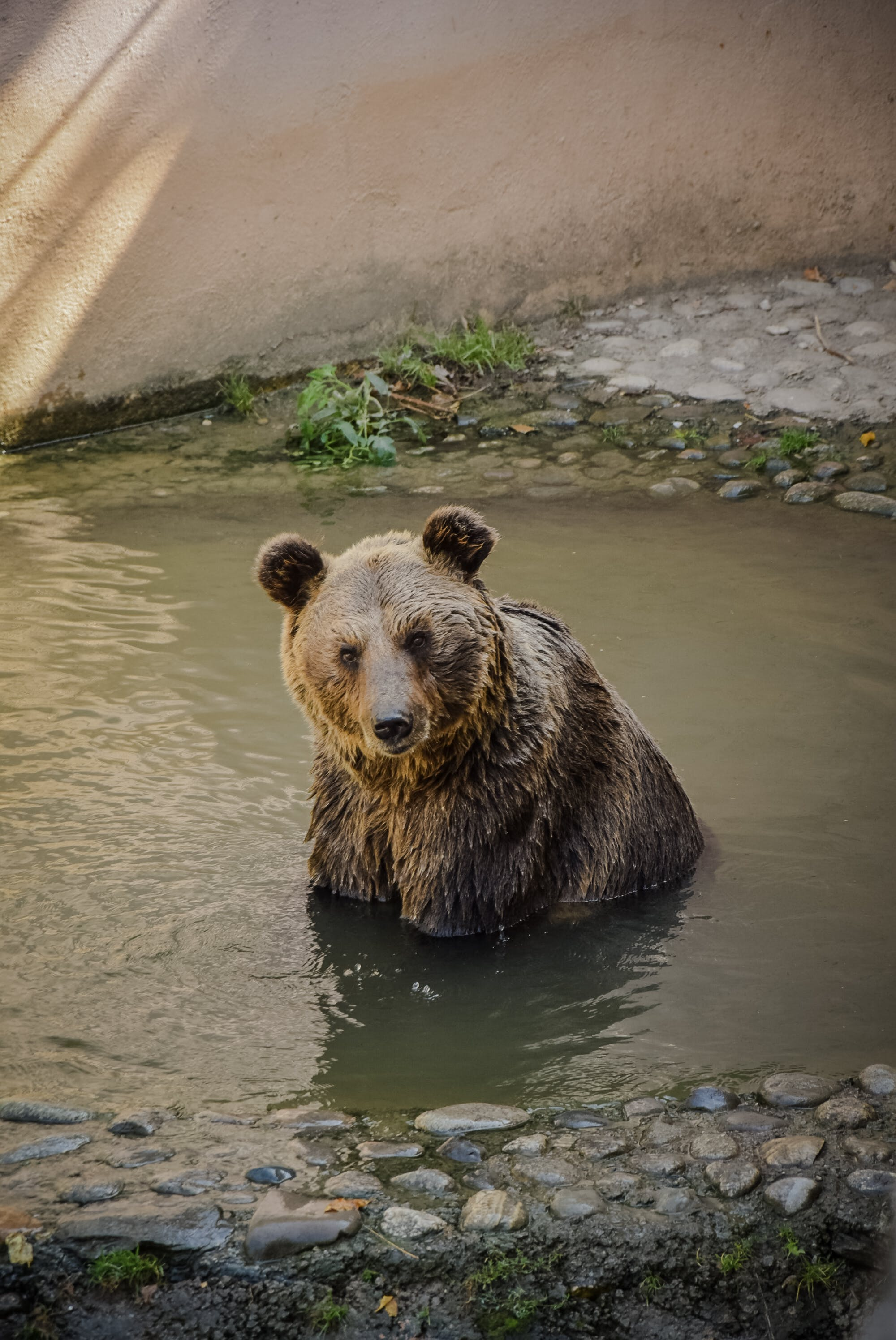 Brown Bear On Body Of Water
