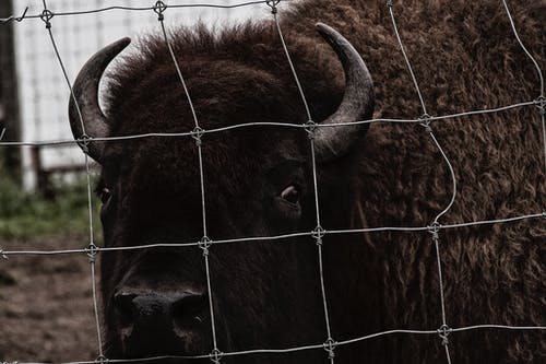 Free stock photo of buffalo, stare