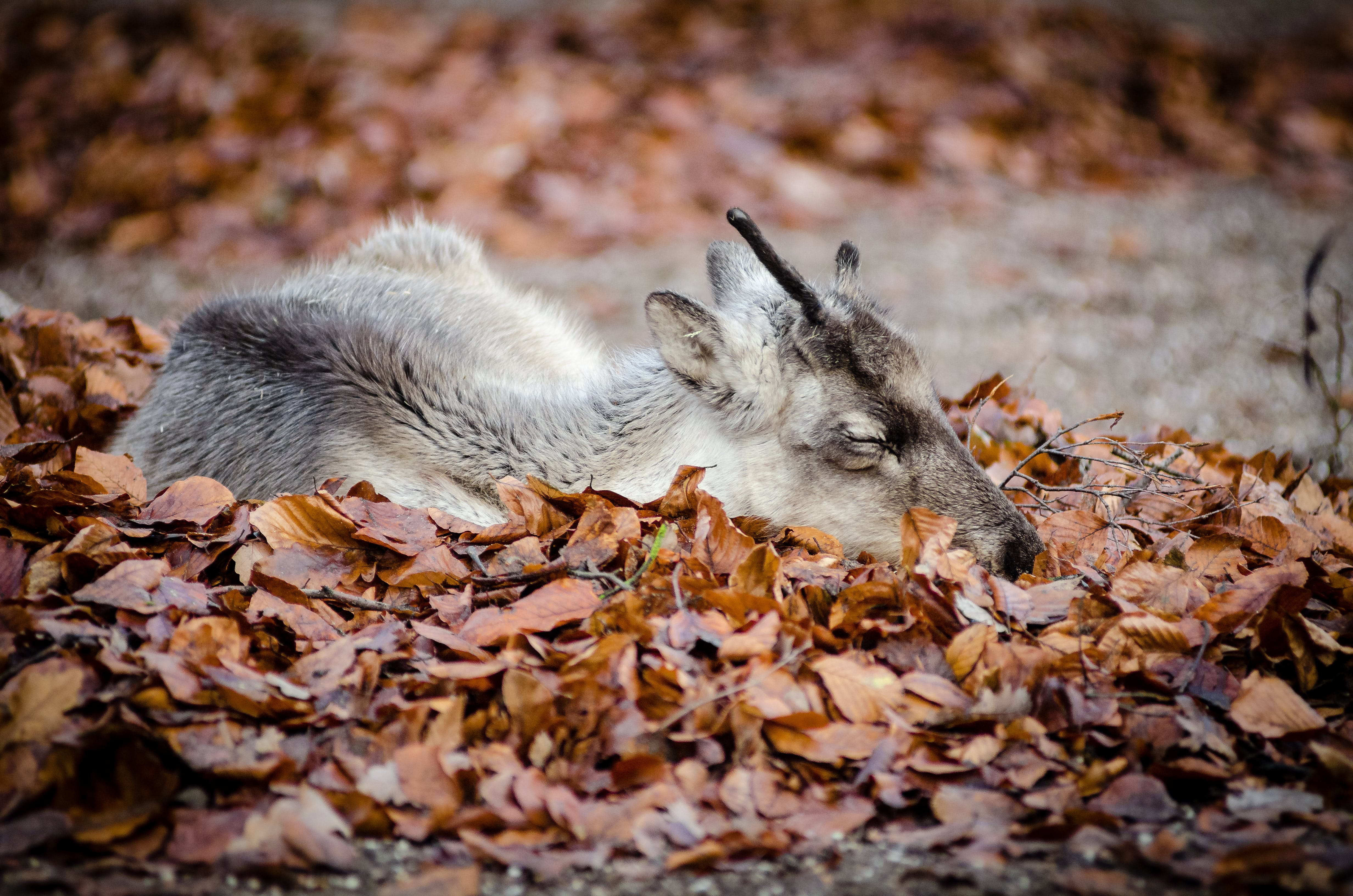 Brown White and Black Deer Laying Down on Brown Grass during Dayimte