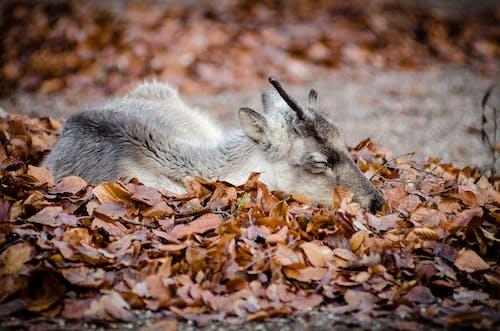 Základová fotografie zdarma na téma divočina, spaní, suché listí, zvíře