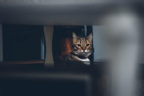 Brown Cat Looking at Camera Lens